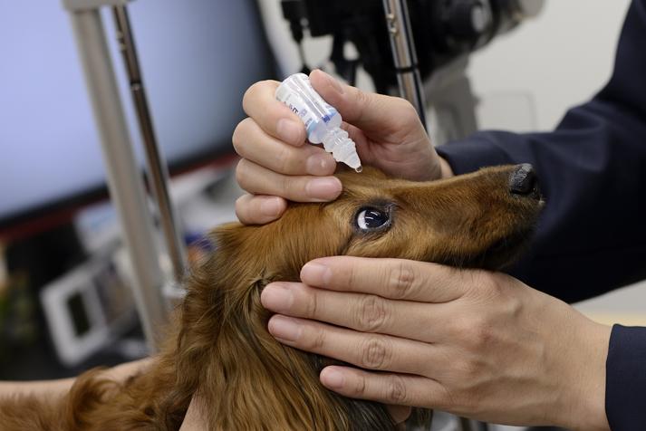 眼科専門動物病院GCの院長が犬の目薬を差している